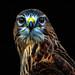 The Fractal Hawk