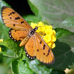 007. Tawny Coster (Horin-chora) - in my Butterfly garden