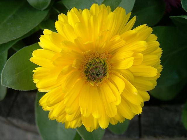 Yellow flowers flickr mightylinksfo