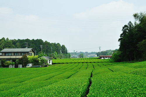 Tea plantation_22 | by ajari