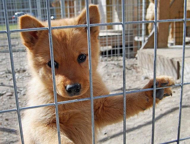 Puppy eyes | Some finnish spitz puppies I had the pleasure ...