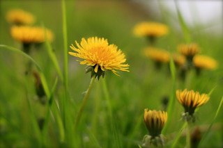 Dandelion | by EnJork