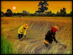 Thai women in the paddy fields by P. Suesskind