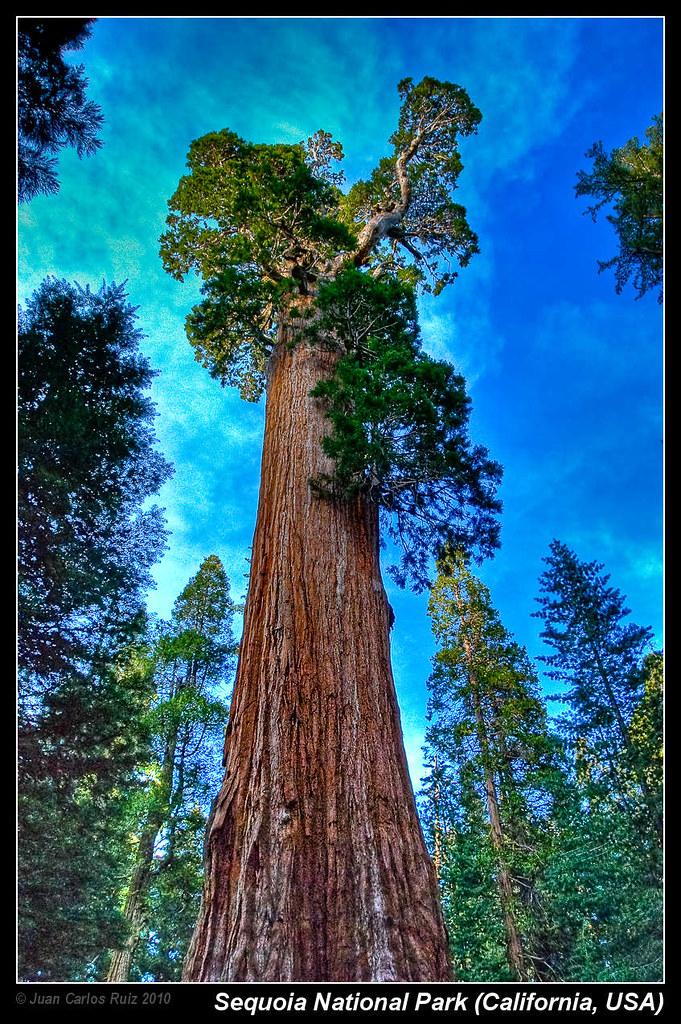general grant - giant sequoia