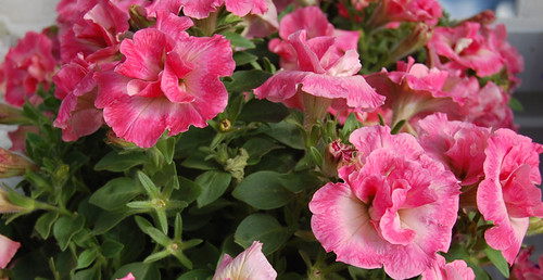 2010 Petunia Novela 'Martha Washington Pink' | by GPN and LGR