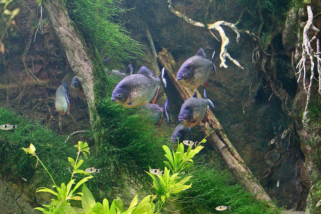 Facts About Red Bellied Piranhas Red Bellied Piranha Aka Red