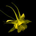 LIKE A SHOOTING STAR,  Aquilegia