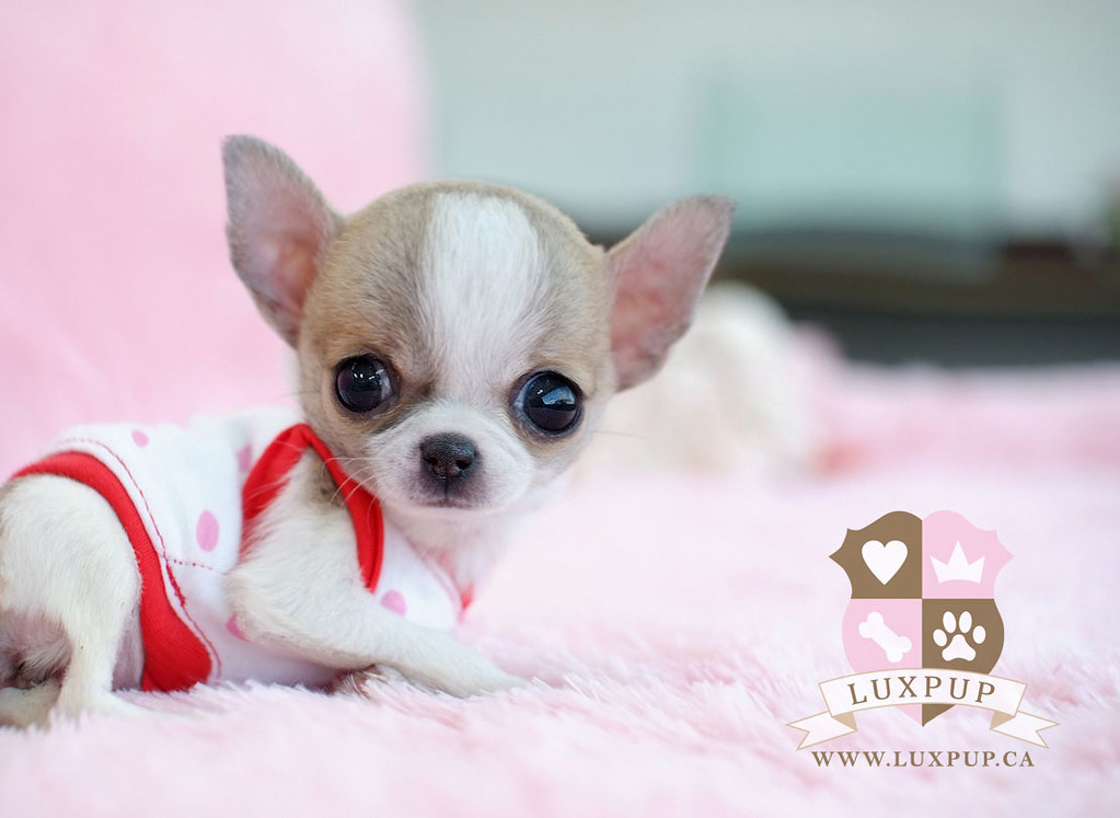 newborn teacup chihuahua teacup chihuahua1 bringing the cutest and the tiniest 2593