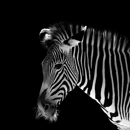 Low-Key Zebra - Zoo Augsburg | by riese.laurenc