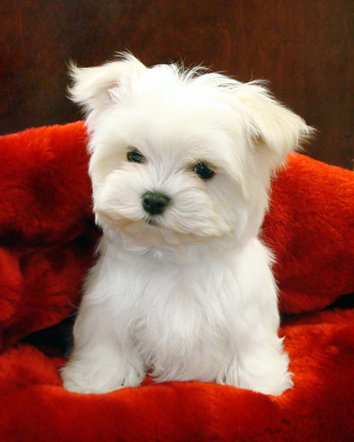 maltese-puppies-for-sale | by kinjengsubmiter