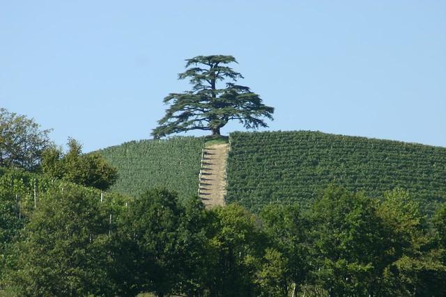 Libanon Zeder Lebanon Ceder Im Piemont Italien