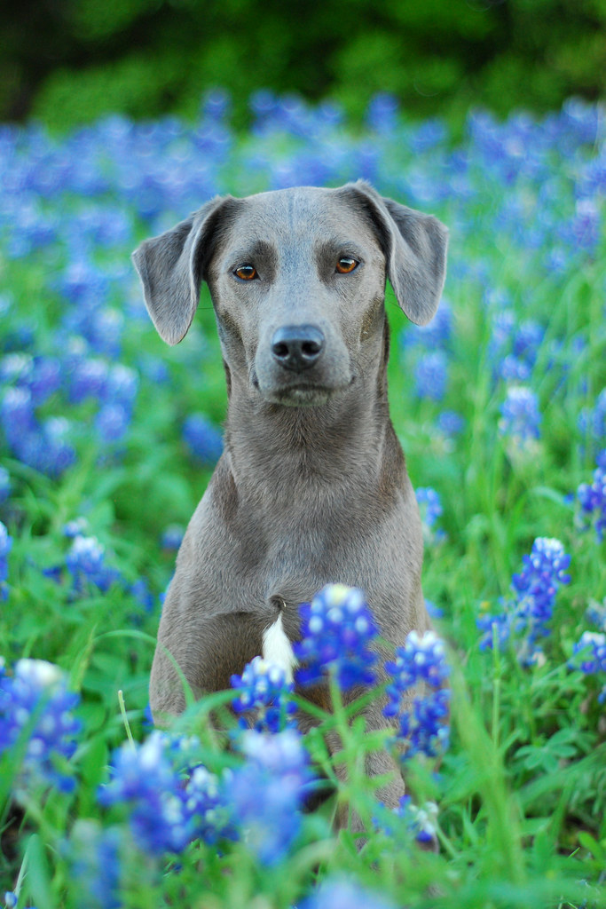 Blue Lacy Dogs With Cats