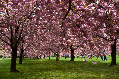 Brooklyn Botanical Gardens Cherry Blossoms The Cherry Tree Flickr