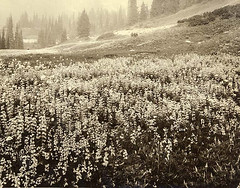 Field of lupine wildflowers in Paradise Valley, Mount Rainier National Park, Washington | by UW Digital Collections
