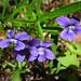 Viola Brittoniana