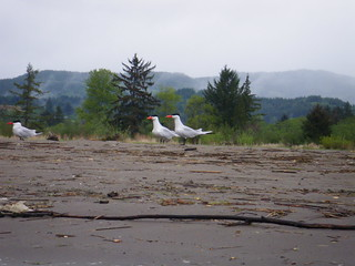 Caspian Terns | by red alder ranch