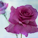 Purple Rose 4