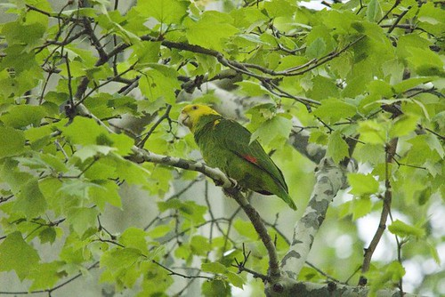 Yellow Fronted Parrot | by markhows