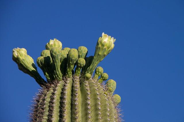 Bbudding Cactus Top