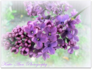 Lilac | by ♥ Katie ann. Off more than on.