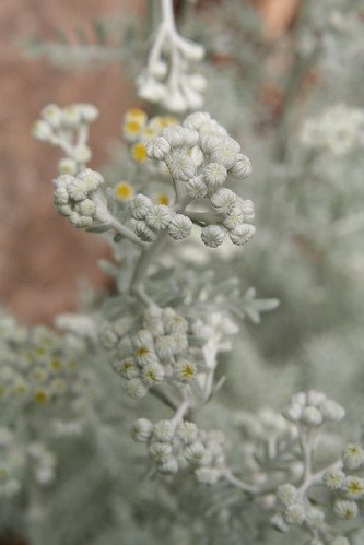 Dusty Miller About to Pop | by SarabellaE / Sara / Love in the Suburbs