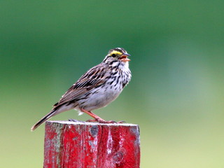 Savannah Sparrow 20100605 | by Kenneth Cole Schneider
