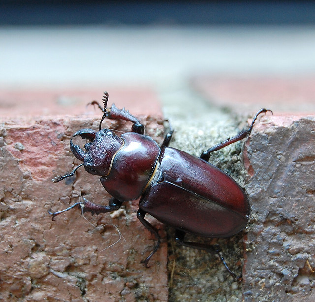 DSC_1211_stag_beetle2