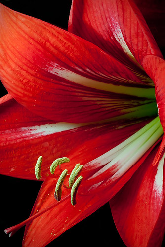 Amaryllis | by paulfarrellphoto