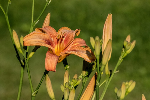 Day Lily | by Stephen Downes