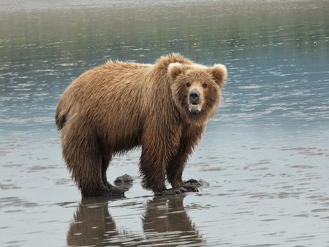Oso en una playa de Lake Clark (Alaska)