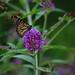 Monarch (F)