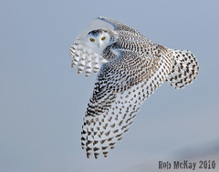 Snowy Owl Look-Back | by Rob McKay Photography