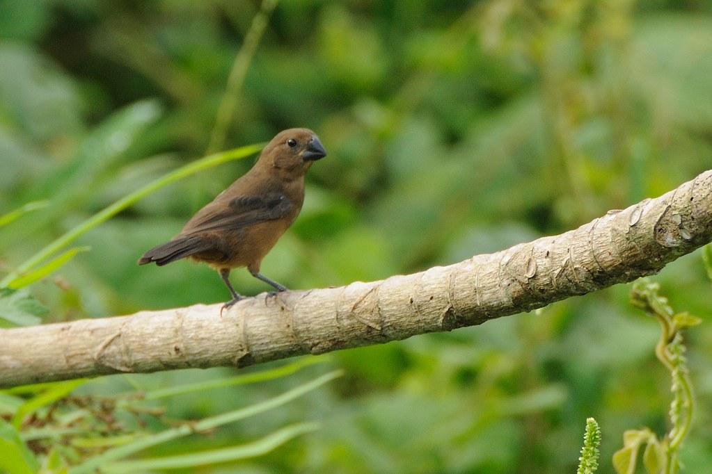 Chestnut Bellied Finch Chestnut-bellied