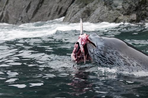 Image Gallery leopard seal attacks