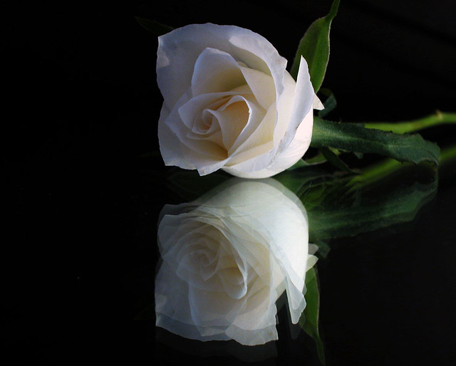 Single White Rose and Reflection 2