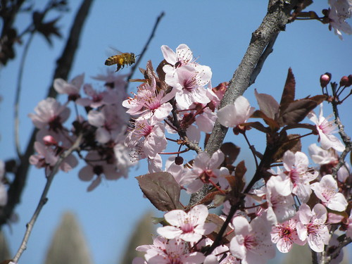 Bee in Spring | by Angela K. Severn