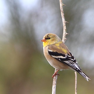 American Goldfinch | by tony y. h. tong