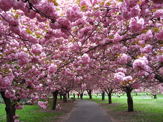 Cherry Walk Peak | by Brooklyn Botanic Garden