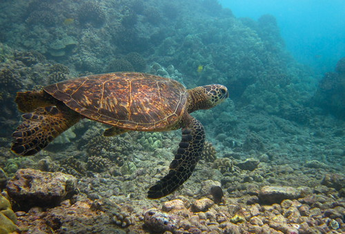 Swimming with Turtles | by jurvetson