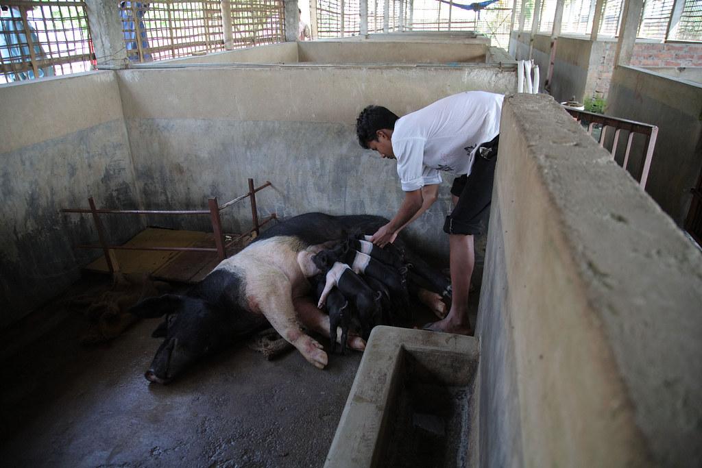 Commercial Pig Production In Assam Labourer Diajyoti