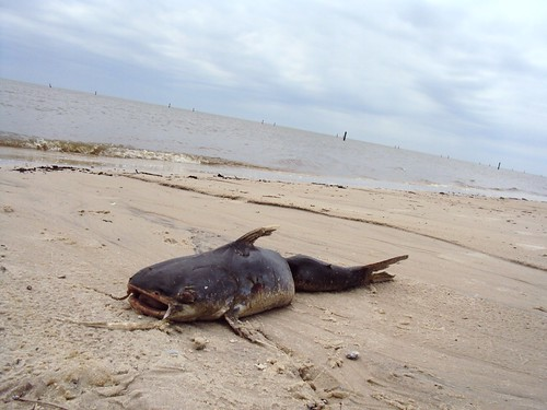 Dead Catfish on Hancock Beach | by B.G. Johnson