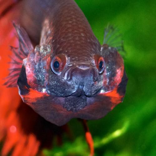 Betta splendens betta splendens body size 60mm for Betta fish size