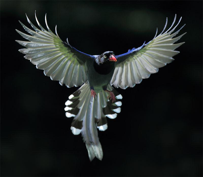 #599 藍鵲黯凌 | 台灣藍鵲.攝於台灣 台北市 草山 Taiwan Blue Magpie, taken at ... Fish