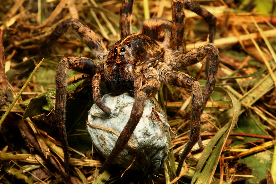 Forest Wolf Spider Canon 5d Mk Ii 100mm Is Lens F22