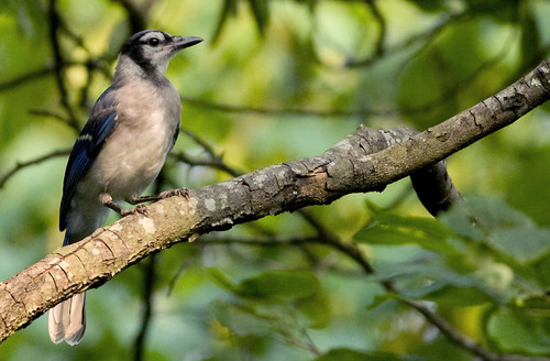 Baby Blue Jay | by dr ama