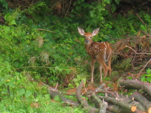 fawn in the back yard | by boodely