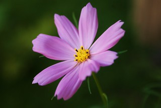 Delicate Cosmos | by j man.