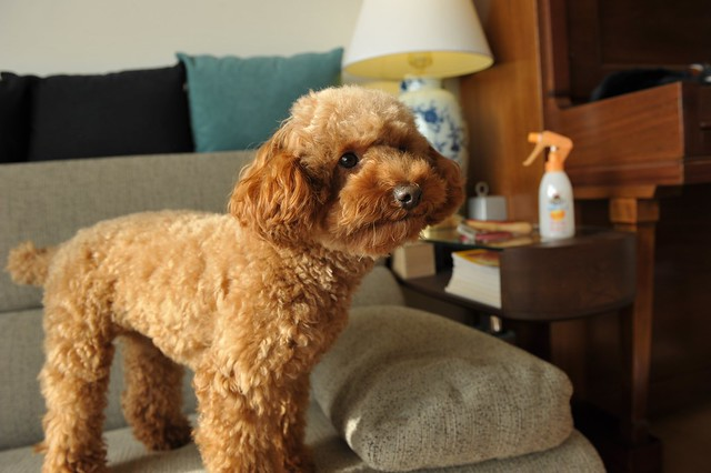 Toy Poodle Food Recipes