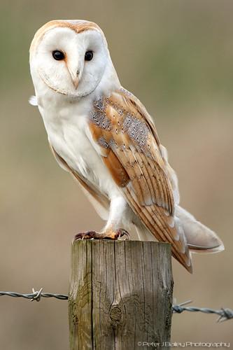 Barn Owl Tyto Alba Barn Owl Tyto Alba Peter J Bailey