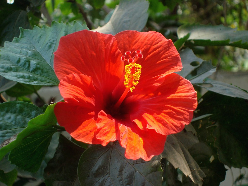 Jaba kusum china rose the botanical name of this flower flickr jaba kusum china rose by pratap ch bhanja izmirmasajfo